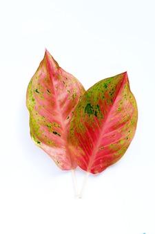 흰색 바탕에 화려한 aglaonema 잎