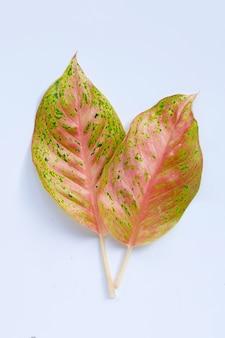 흰색 표면에 다채로운 aglaonema 잎