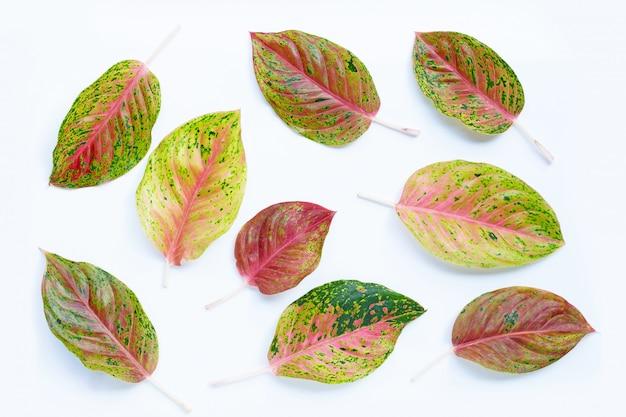 다채로운 aglaonema는 흰색에 나뭇잎.