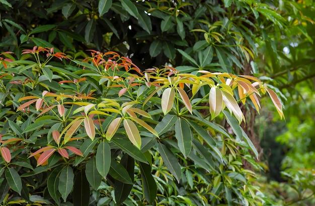 일반적으로 칠판 나무라고 불리는 다채로운 알스토니아 스콜라리스 잎. 자연 배경입니다.