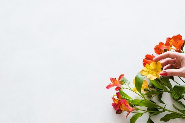 흰색 바탕에 화려한 alstroemeria입니다. 아름다운 봄 꽃 꽃다발.
