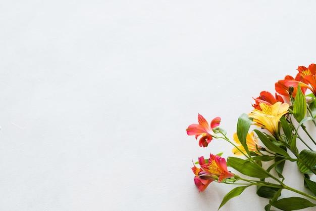 흰색 바탕에 화려한 alstroemeria입니다. 식물 식물학과 봄.