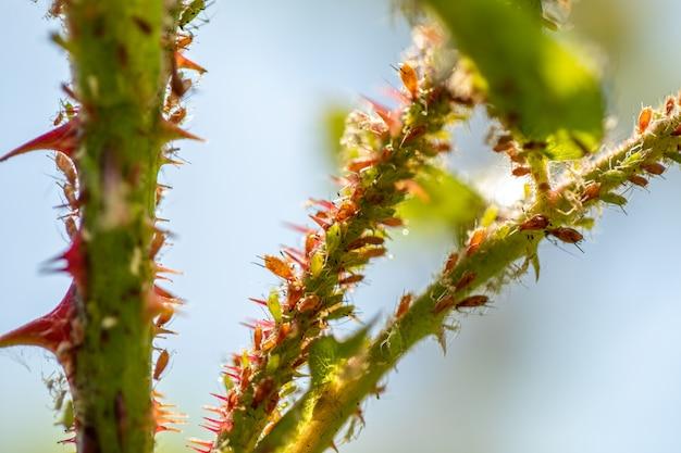장미의 다채로운 진딧물, 해충은 식물을 손상시키고 질병을 퍼뜨립니다.
