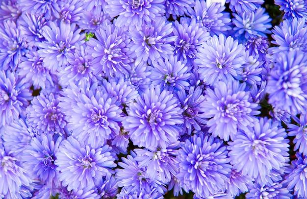 カラフルなアスターの花
