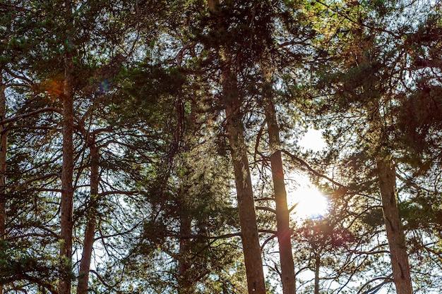 背の高い松のてっぺんを通過する太陽光線とカラフルな秋の風景の背景。