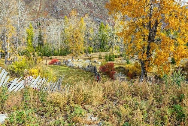 日差しの中で木製の柵の近くの金の紅葉の中で山の庭に金色の葉を持つ白樺の木とカラフルな秋の風景。黄赤色の秋の色で木や植物の明るい景色。