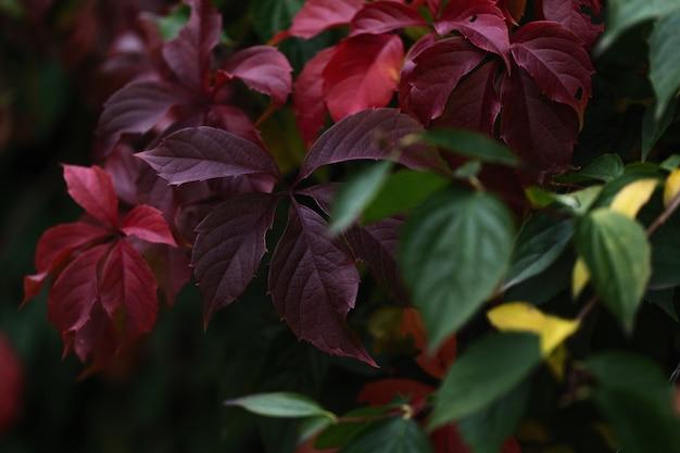 カラフルな紅葉背景。紫、赤、緑の秋の葉