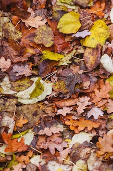 Colorful autumn leaves laying on ground.