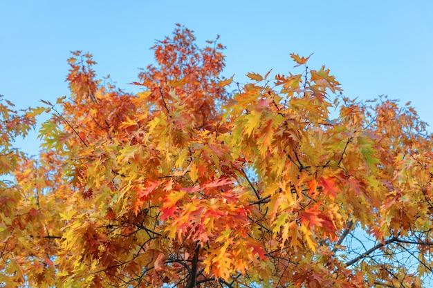 Красочные осенние листья дуба на дереве на фоне неба