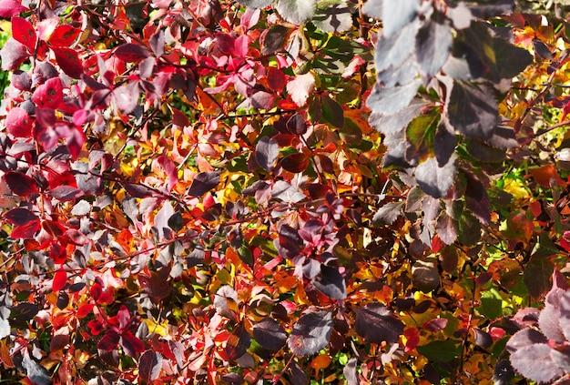 カラフルな紅葉。赤とオレンジの紅葉の背景