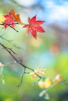 Colorful autumn maple leaves on natural light for background.