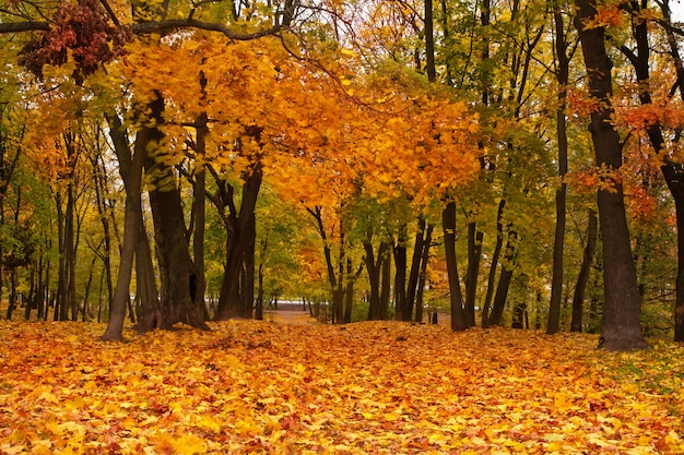 Colorful autumn maple trees in park