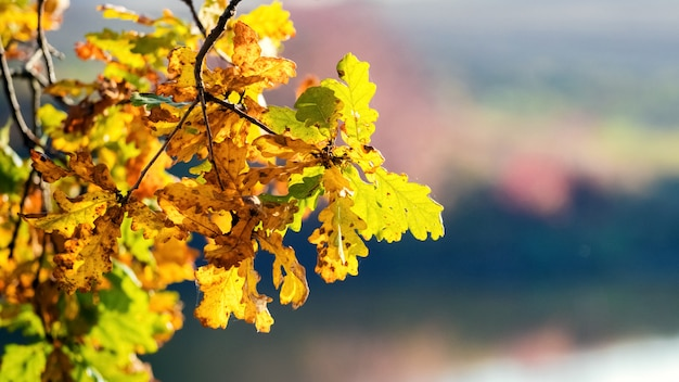 Colorful autumn oak leaves on a blurred background
