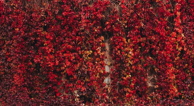 Colorful autumn virginia creeper.