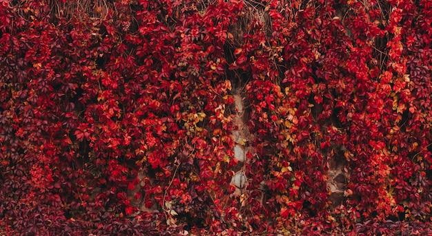 Красочная осень вирджиния creeper.