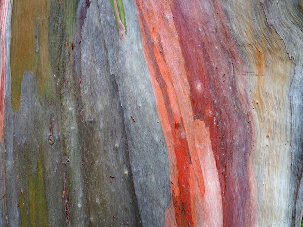 Colorful background of the eucalyptus trunk