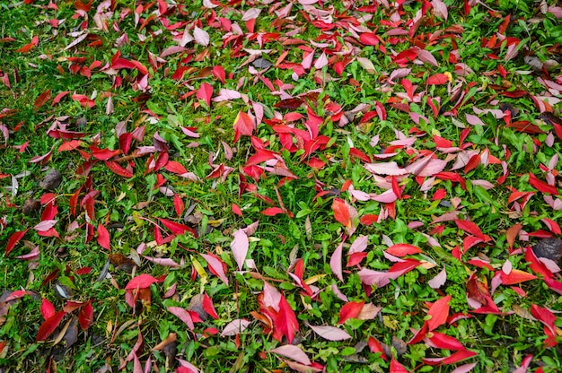 Colorful backround image of fallen autumn red leaves