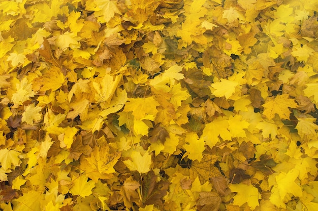 落ち葉のカラフルな背景。落ちてくる秋のカエデの葉が地面に横たわっています。