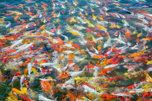 Colorful of beautiful koi fish in the pond.
