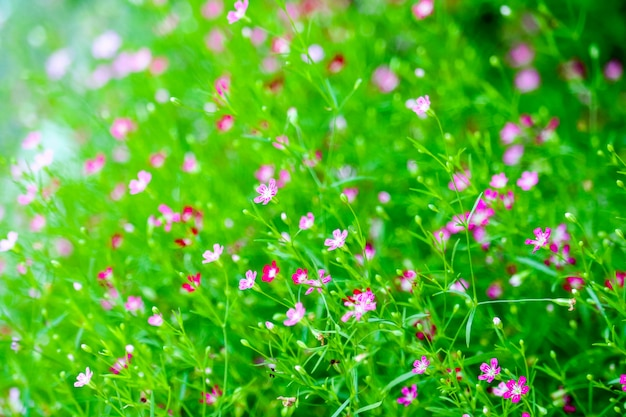 Colorful beautiful pink gypsophila boutique flower in garden