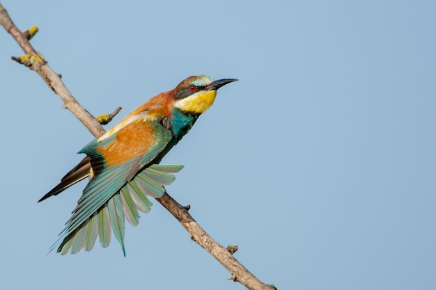 Colorful bee-eater on the branch of the tree