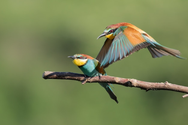 Colorful bee-eater flying out of the tree branch next to another one