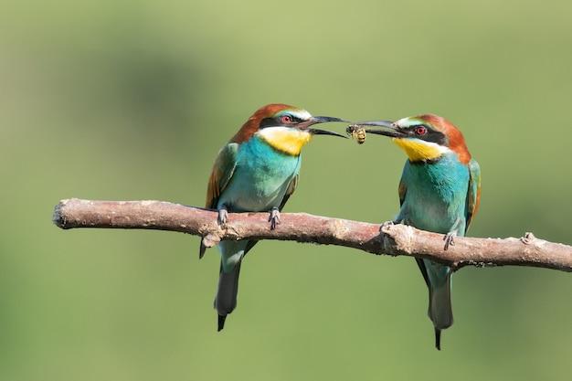 木の枝で食べ物を共有するカラフルなハチクイ
