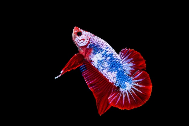 Colorful betta fighting fish on black background