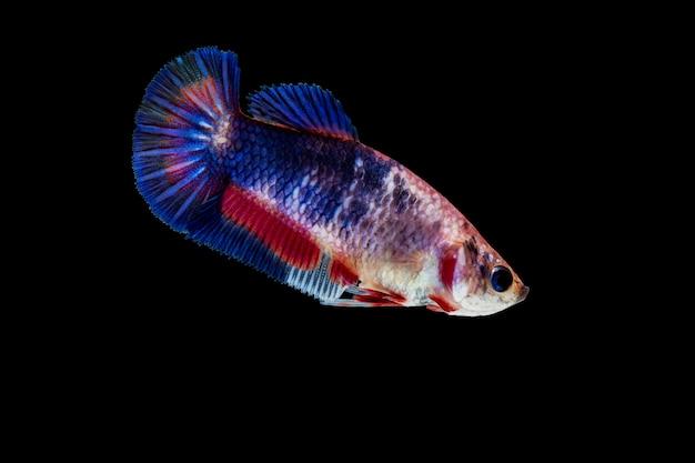 Бойцовая рыбка на черном фоне
