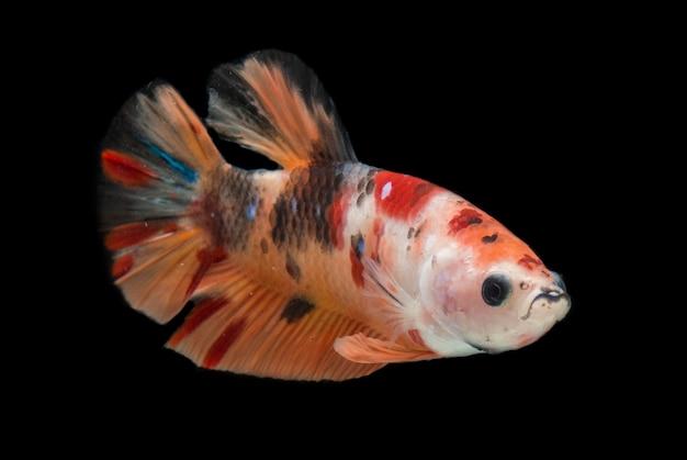 カラフルなベタの魚。美しいシャムの戦いの魚、黒で隔離されたネモイエローのベース。