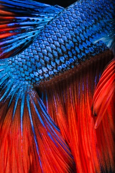 Colorful betta fish close up scales