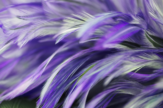 Colorful bird and chicken feathers in soft and blur style for the background