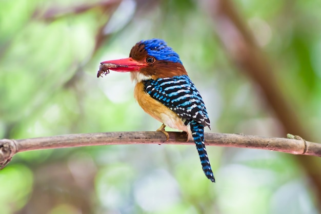 Colorful of bird, rufous-collared kingfisher (actenoides concretus)