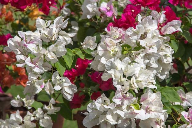 Colorful bougainvillea flowerã'â(tropical flowers)