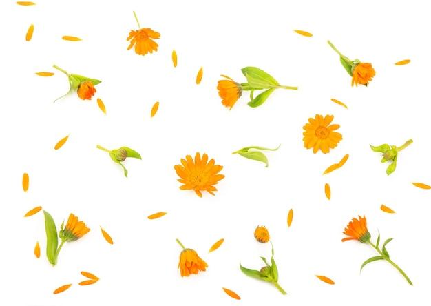 白い壁にオレンジ色のキンセンカの花のカラフルな明るいパターン。フラットレイ、上面図
