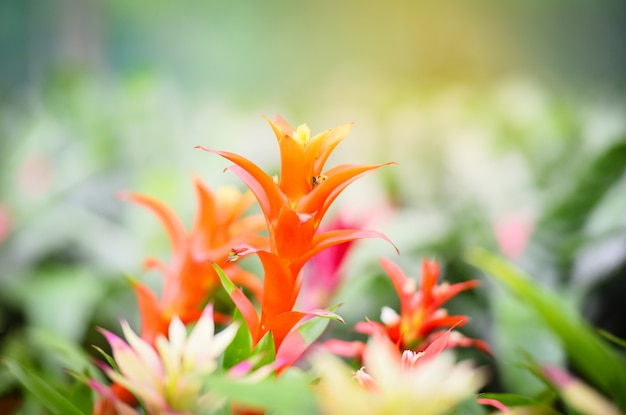 Colorful of bromeliad flower decorate in the garden nursery plants background