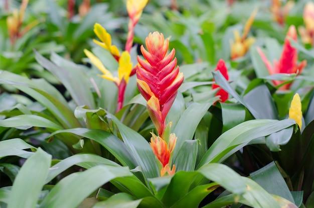 Красочный цветок бромелиевых