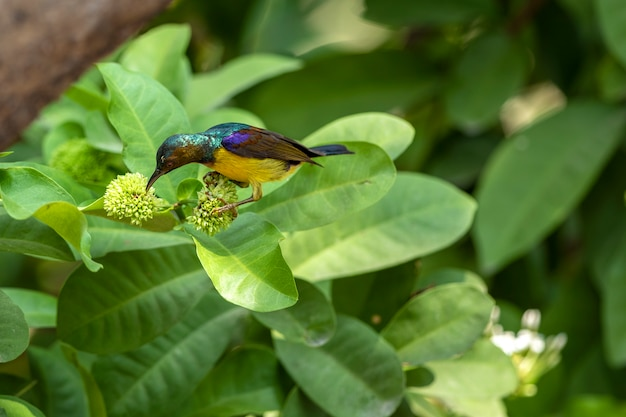 The colorful brown-throated sunbird seek for food