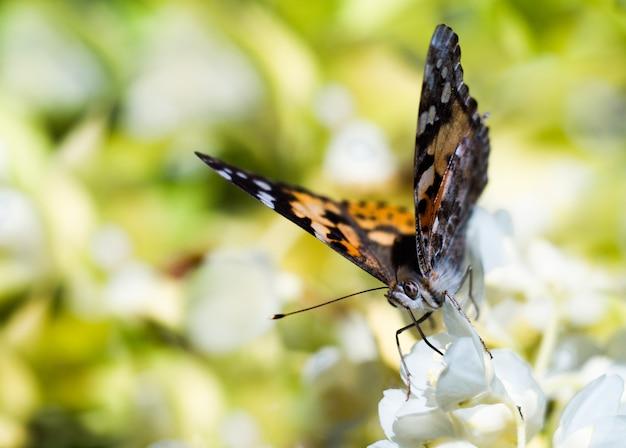Красочная бабочка, питающаяся цветком жасмина