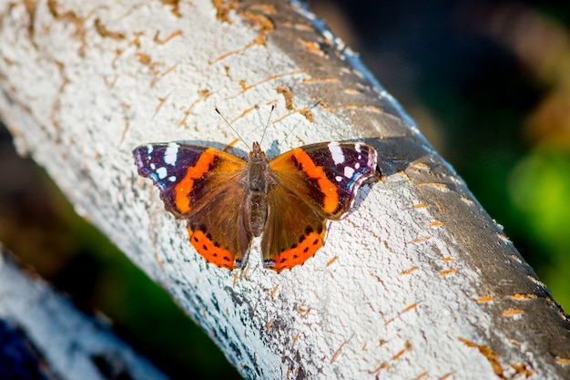 Colorful butterfly peacock eye on a tree bark in sunny weather_