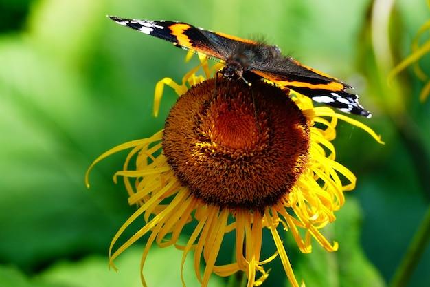 Farfalla colorata sul girasole
