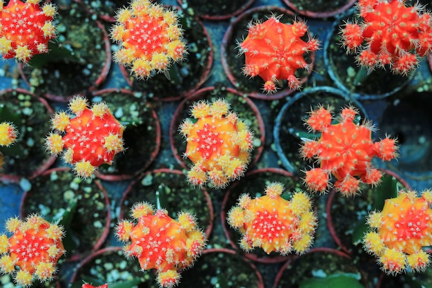 Colorful cactus in greenhouse growing. top view.