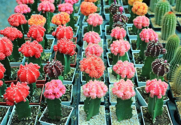 Colorful cactus in greenhouse growing.
