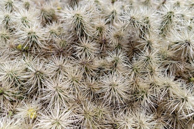 スペイン、カナリア諸島、ランサローテ島、クアティザ近くのサボテン園の火山性溶岩砂土壌で育つカラフルなサボテン植物の品種。