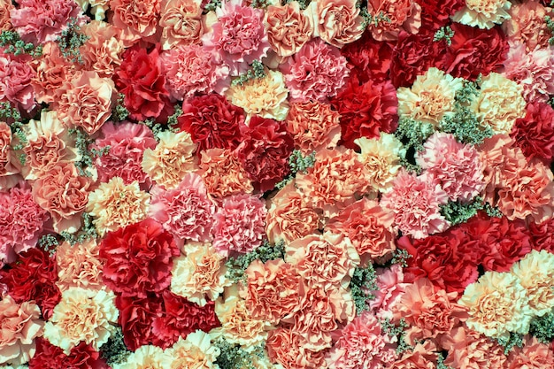 Colorful carnation flowers background.