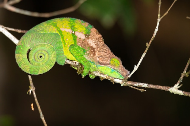 Colorful chameleon in a close-up in the rainforest in madagascar.