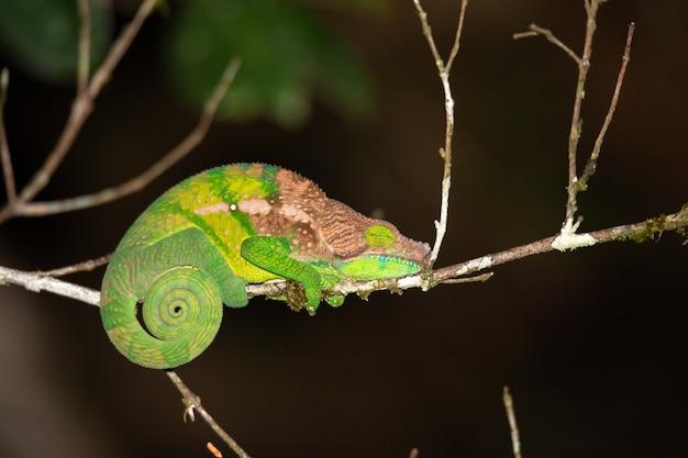 マダガスカルの熱帯雨林のクローズアップでカラフルなカメレオン。