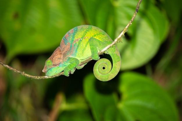 Красочный хамелеон крупным планом в тропическом лесу на мадагаскаре.