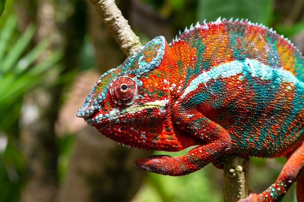 Красочный хамелеон на ветке в национальном парке на острове мадагаскар