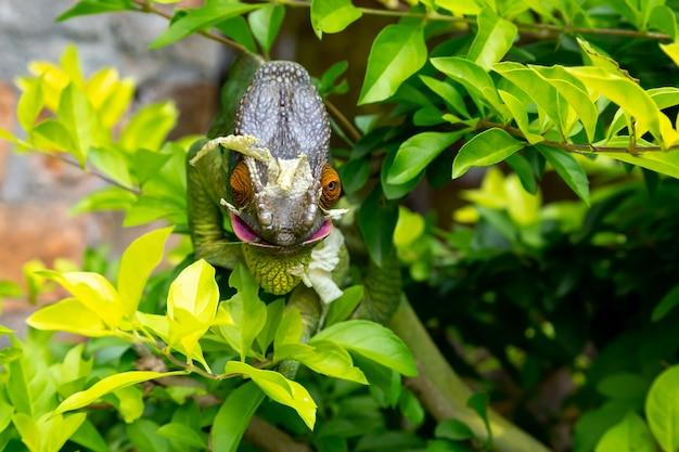 マダガスカル島の国立公園の枝にカラフルなカメレオン